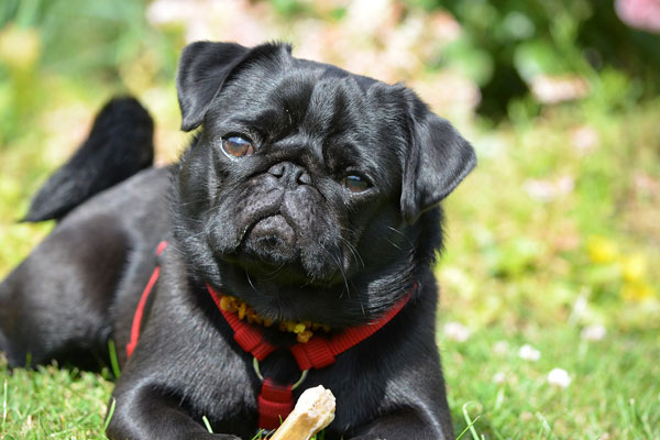 Purebred Cute Black Dog sitting in garden on sunny day