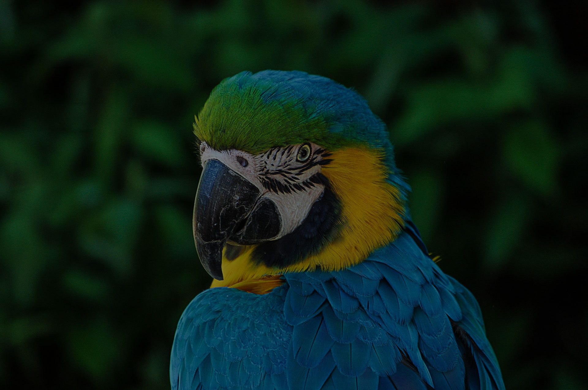 Face of a Parrot Colorful