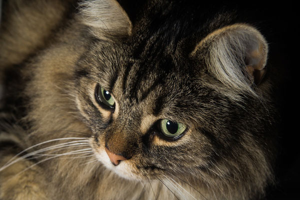 Norwegian Forest Cat close up to Eyes