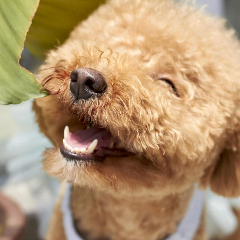 Brown cute poodle puppy in the sunny day