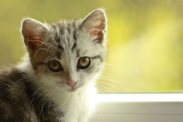 Cute gray and white cat looking out window.