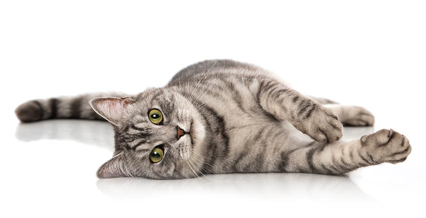 cat lying on floor isolated image