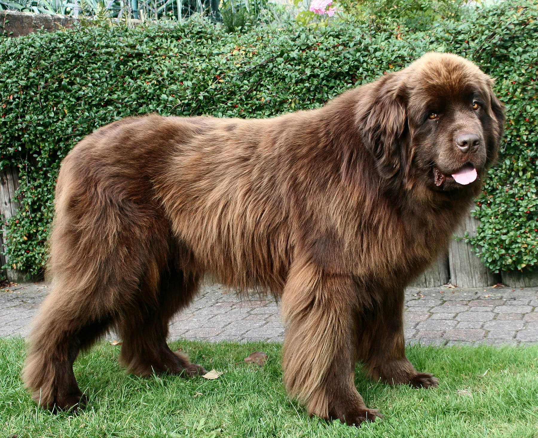 Big Brown Dog That Looks Like A Bear