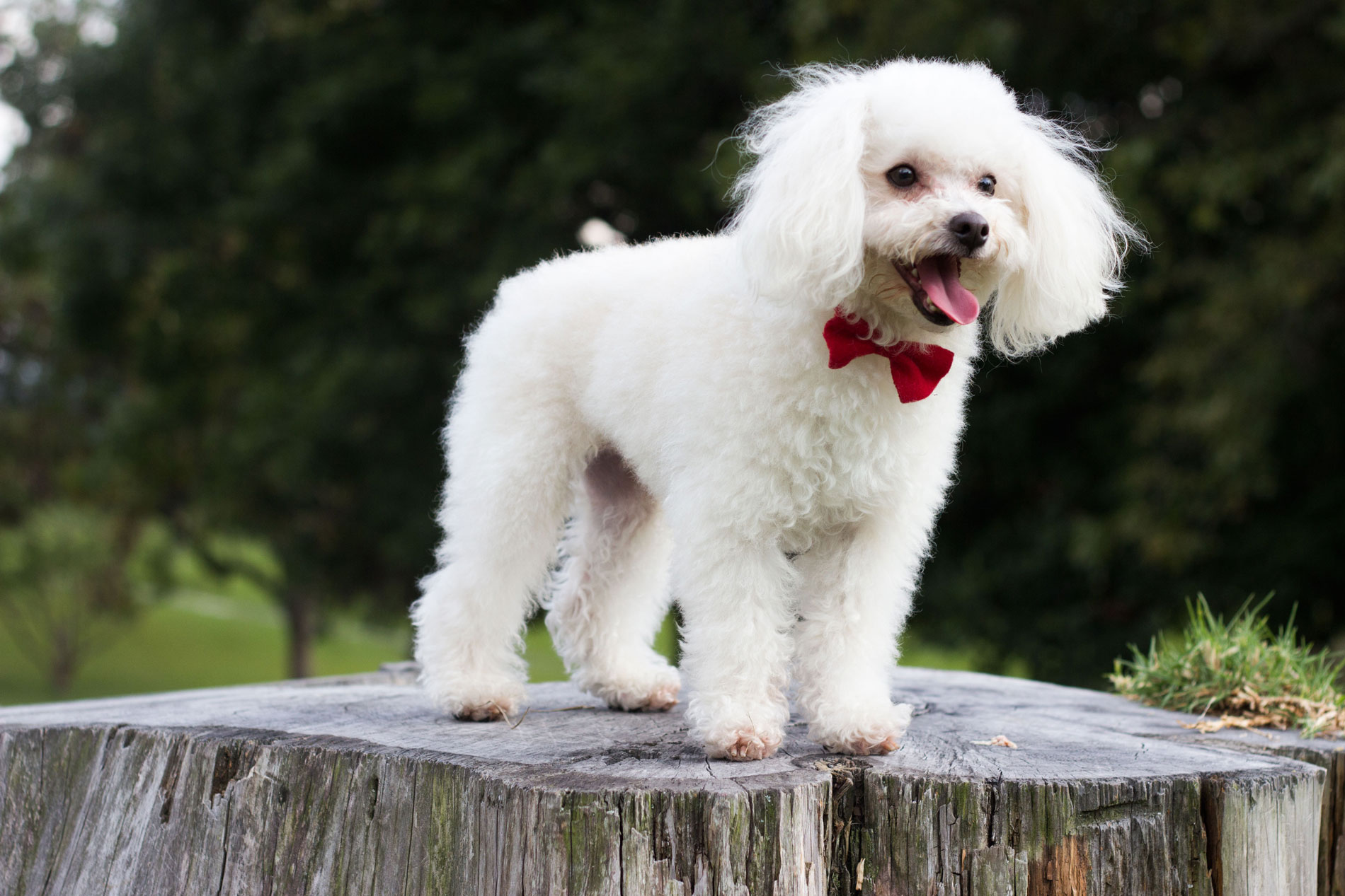 cute little Poodle standing at the wood block